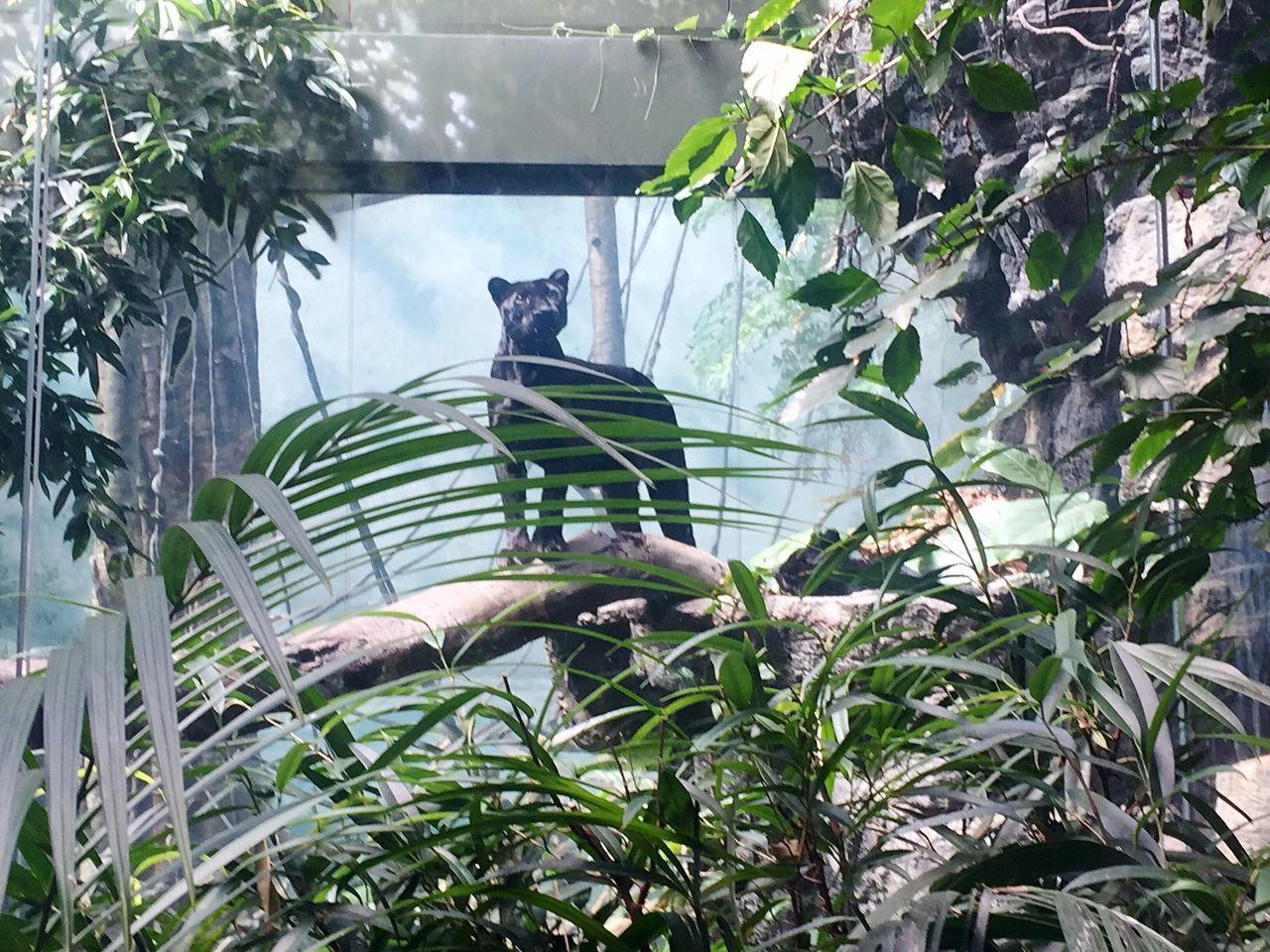 Still, panther... Zoo Panther Animal Wildlife Nature Phoyography