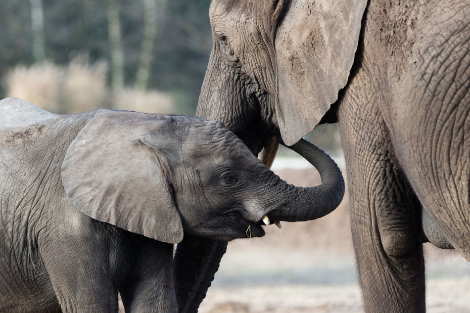 Beautiful stock photos of elefant, Animal Family, Animal Themes, Animal Wildlife, Animals In The Wild