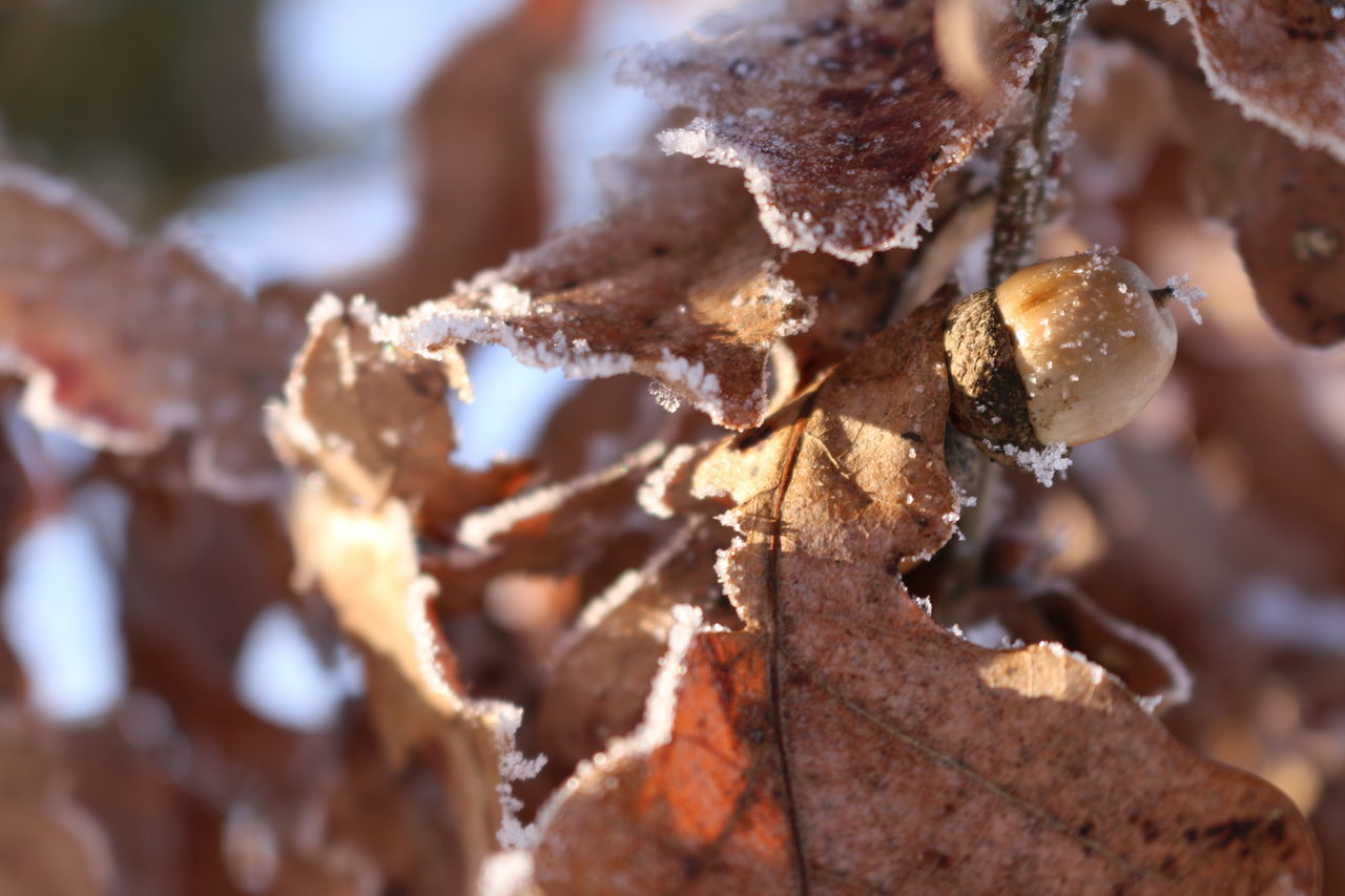 Acorn Beauty In Nature Branch Cold Temperature First Eyeem Photo Leafes Nature No People Outdoors Winter