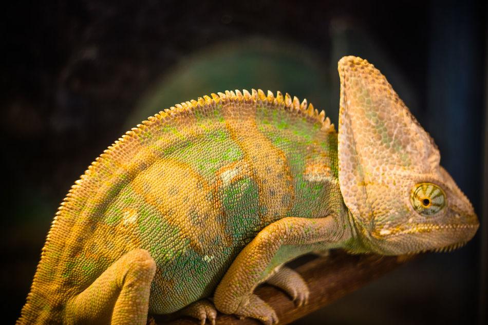 все замечает Animal Scale Animal Themes Animal Wildlife Chameleon Close-up Day Helios 44m-6 Lizard Nature No People One Animal Outdoors Reptile Sony A6000 Tail хамелион