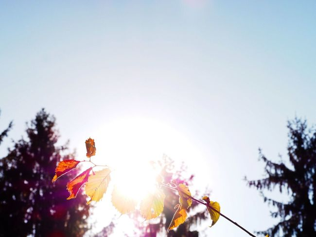Sun Low Angle View Sunbeam Sunlight Tree Clear Sky Growth Back Lit Lens Flare Sky Beauty In Nature High Section Fragility Day Bright Sunny Outdoors Blue Focus On Foreground