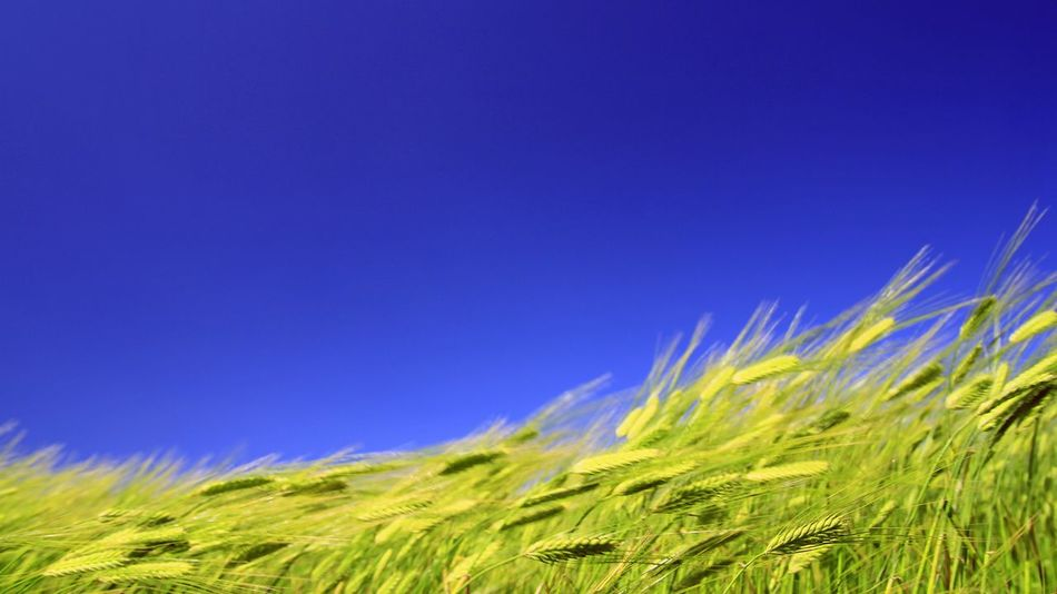 Blue Green Color Growth Nature Clear Sky No People Beauty In Nature Cereal Plant Outdoors Agriculture Day Rural Scene Sky Scenics Grass Close-up Wheat Field Wheat  Good Wind