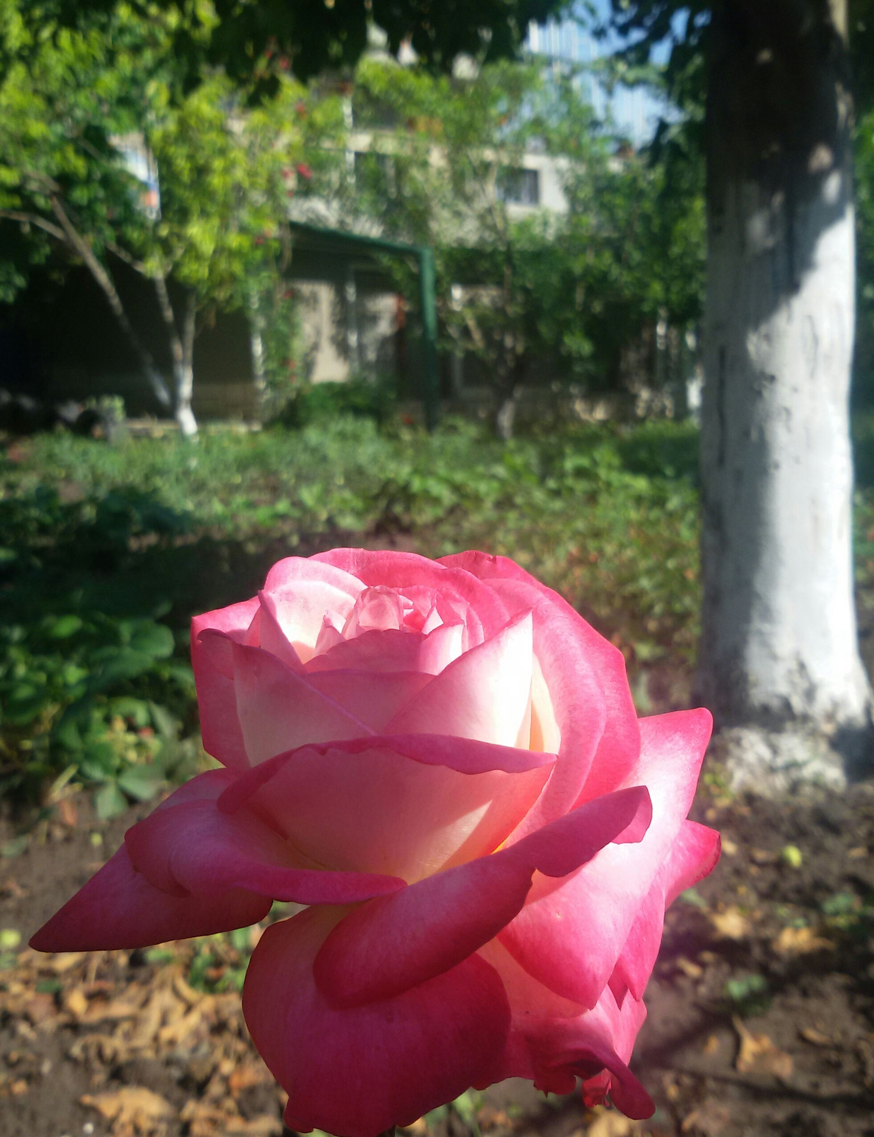 flower, petal, fragility, flower head, freshness, rose - flower, growth, beauty in nature, focus on foreground, pink color, close-up, blooming, nature, single flower, red, plant, park - man made space, day, in bloom, outdoors