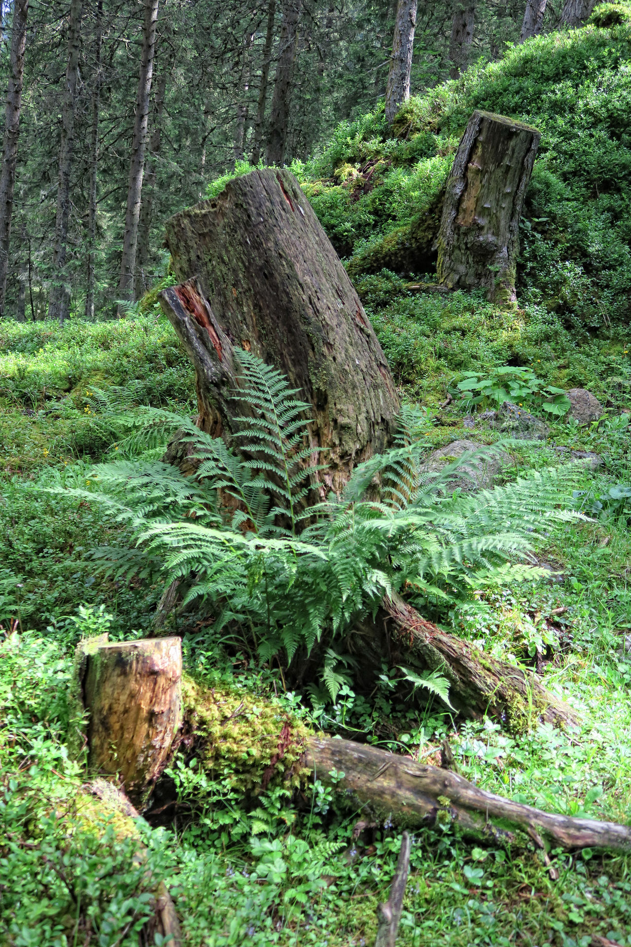 dead tree trunks in the european alps forest. Alps Alps Austria Day Deadwood  Deadwood Forrest Fern Forest Forest Photography Gerlos Growth Nature No People Outdoors Scenics Tranquil Scene Tranquility Tree Tree Trunk Wood - Material