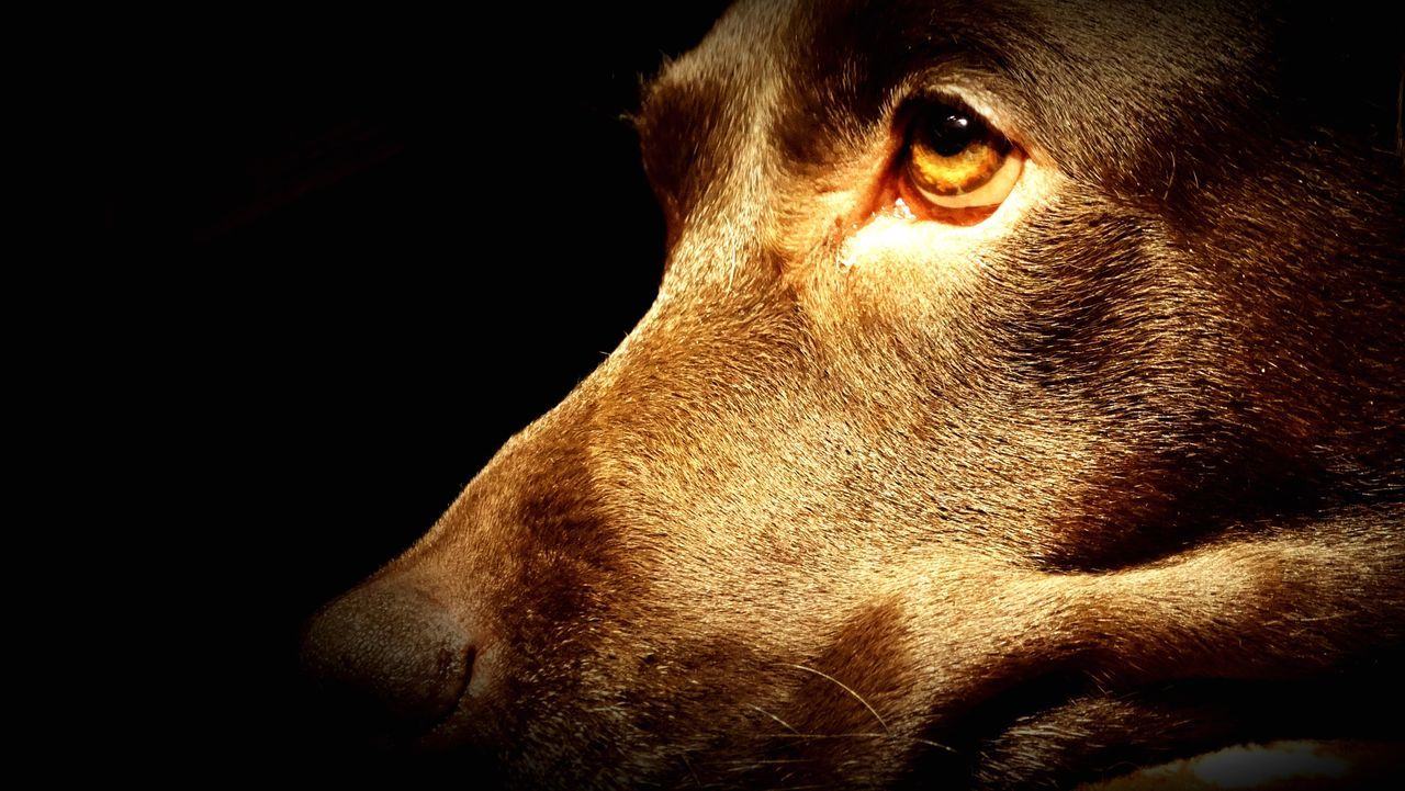 Black Background One Animal Dog Pets Close-up Studio Shot Domestic Animals Animal Head  Animal Body Part Mammal Animal Themes No People Animal Eye Day Labrador Animallovers Lily May Collection Lilymayparker.blogspot.be Lily May Parker