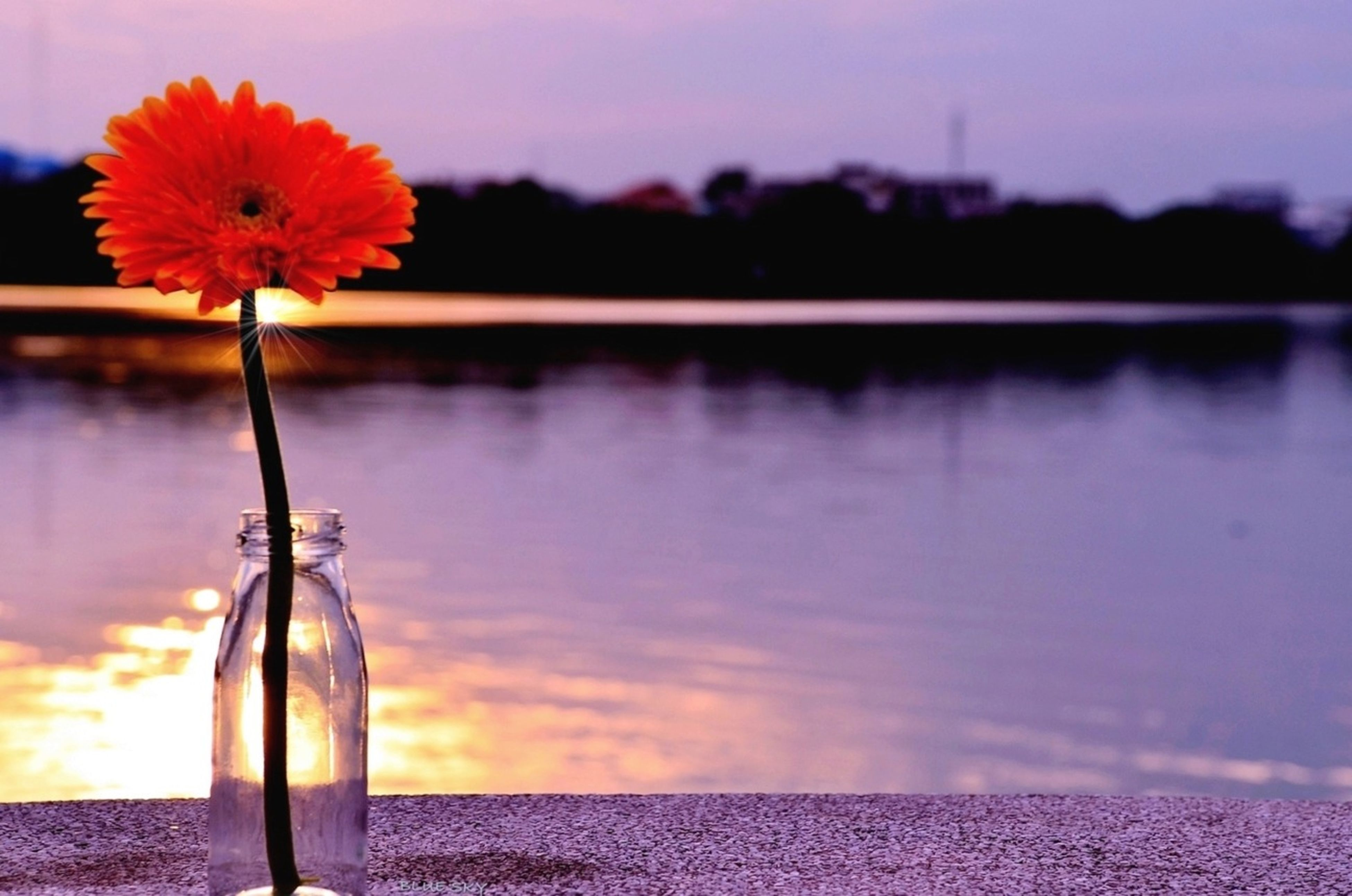 water, flower, focus on foreground, sunset, reflection, beauty in nature, freshness, fragility, lake, nature, close-up, orange color, petal, red, plant, sky, stem, outdoors, growth, tranquility
