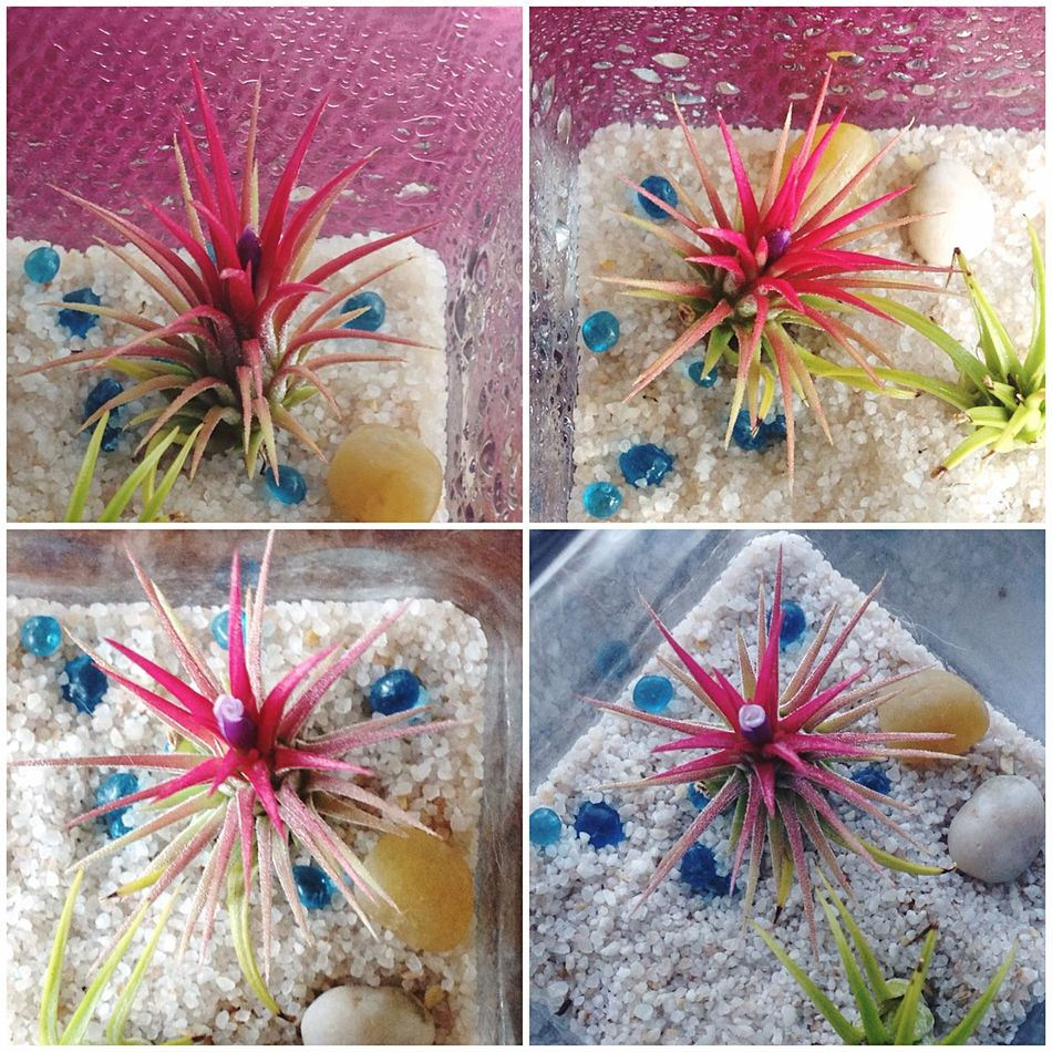 Blooming Airplant Rare Moment Natural Photography Life In Colors Flowers In My Garden Amaturephotographer Home Sweet Home Photosaremylife Give Love And Watch Them Grow Pictures Are Reflections To The Soul