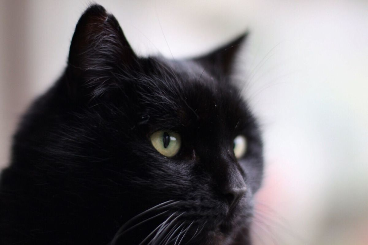 One Animal Pets Domestic Animals Black Color Animal Themes Close-up Mammal Looking Away Domestic Cat Focus On Foreground Indoors  No People Feline Yellow Eyes Day Cat Cats Eyes Cateyes Canon_photos TeamCanon Canon Canon 70d 50mm 1.4 50mm