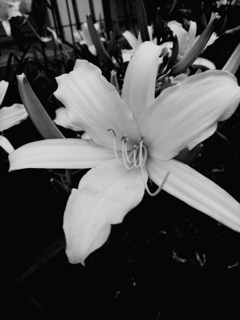 flower, petal, flower head, fragility, beauty in nature, growth, nature, close-up, freshness, plant, lily, blooming, no people, stamen, outdoors, day, day lily