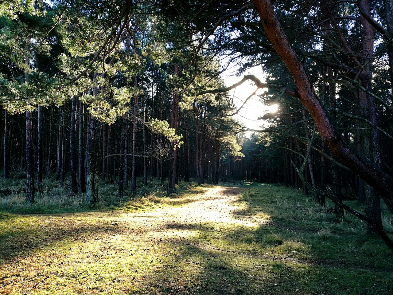 tree, forest, nature, growth, tranquility, sunlight, no people, outdoors, day