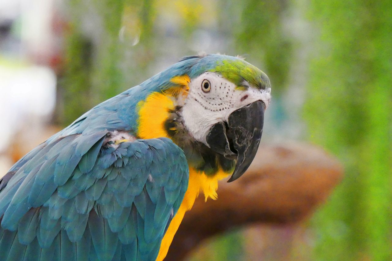 Hello Parrot! Animal Themes Animal Wildlife Animals In The Wild Beak Beauty In Nature Bird Bird Photography Close-up Day Focus On Foreground Gold And Blue Macaw Macaw Nature No People One Animal Outdoors Parrot Parrot Bird Parrot Lover Parrots On A Tree Parrots Restaurant Perching นก นกสวยงาม นกแก้ว