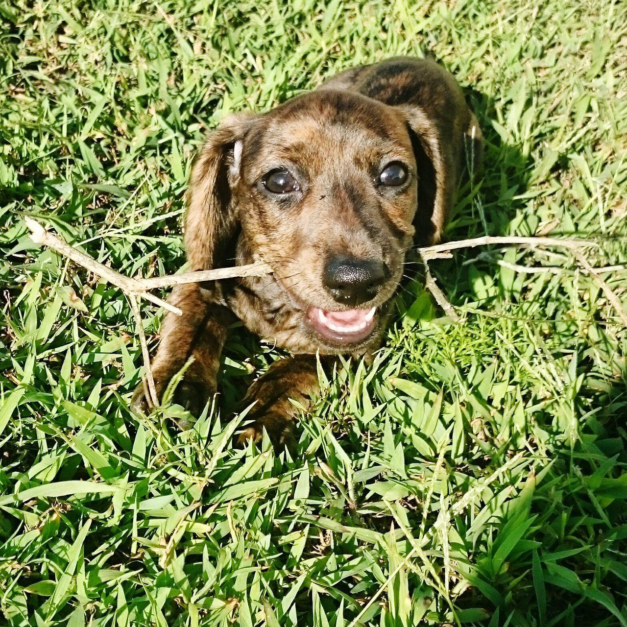 JahnDukePicard claims his first tree kill Dog Dachshund Puppy Love Doxie Brindle Mini