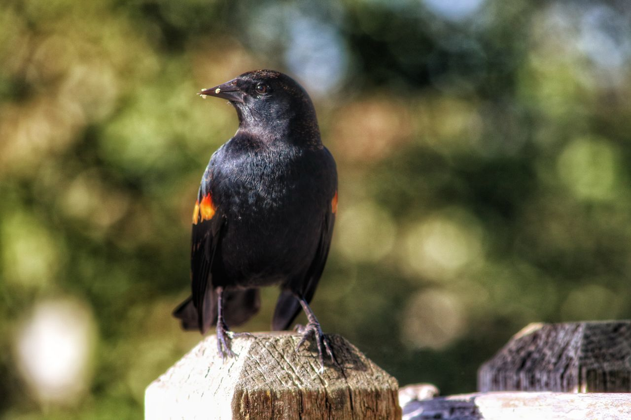 One Animal Animal Themes Animals In The Wild Bird Wildlife Focus On Foreground Beak Close-up Perching Nature Zoology Animal Head  Day Outdoors Beauty In Nature No People Looking Tranquility Redwing Blackbird