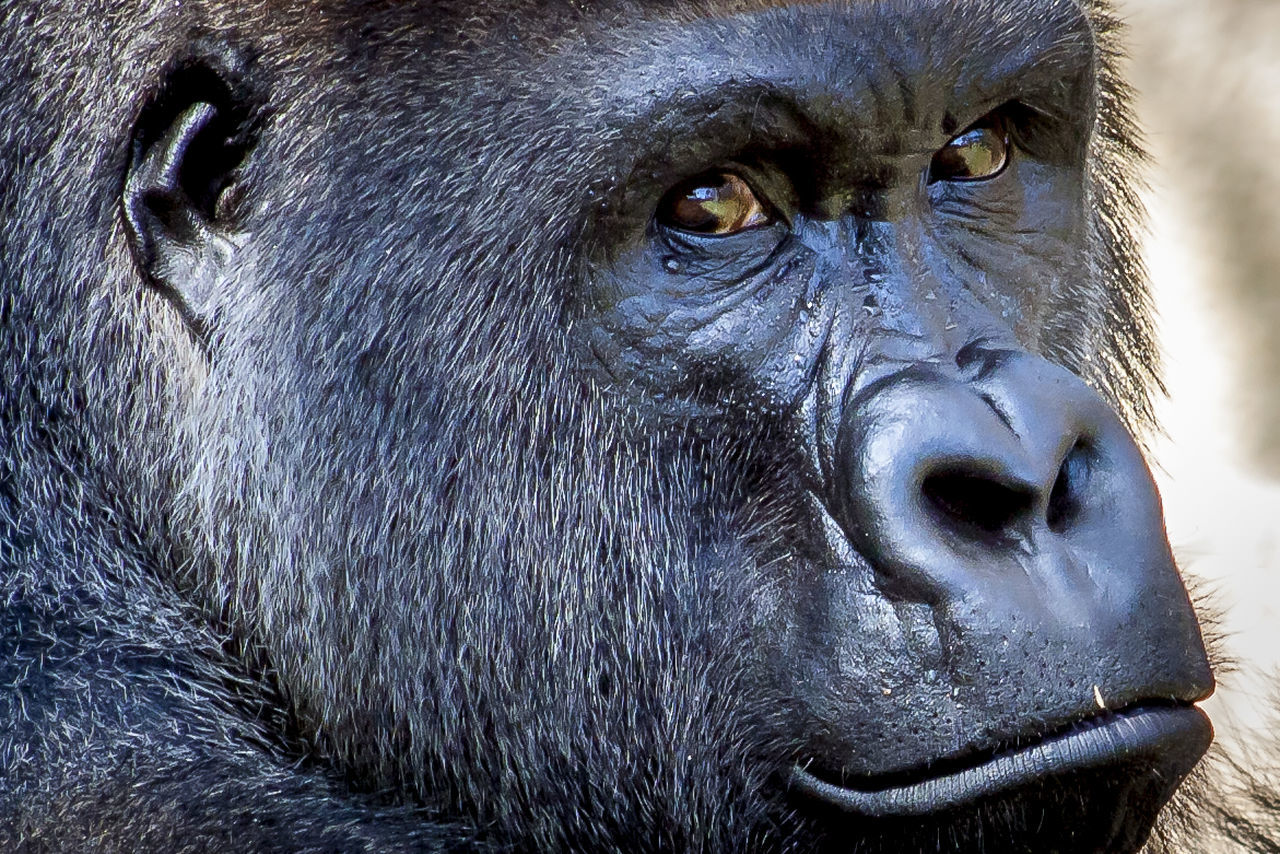 Beautiful stock photos of gorillas, Animal Head, Animal Themes, Close-Up, Day