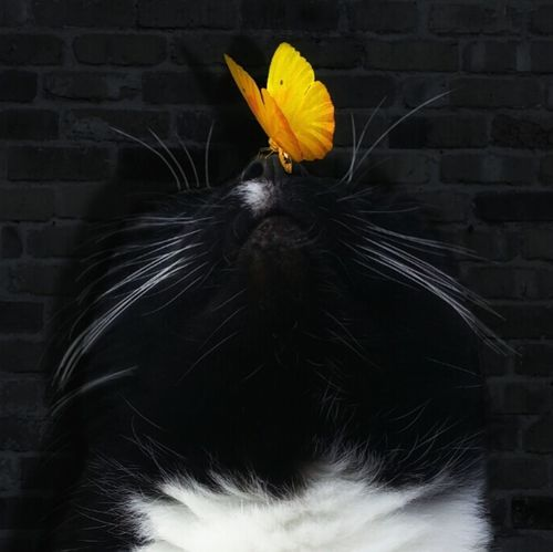 Cat BLackCat Butterfly Cool Edit Yellow Butterfly Cat Nose Cute Pet Animal Animalphotography Photography