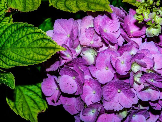 New blooms in my gardens. Hydrangea Flowers Flower Budding Flower