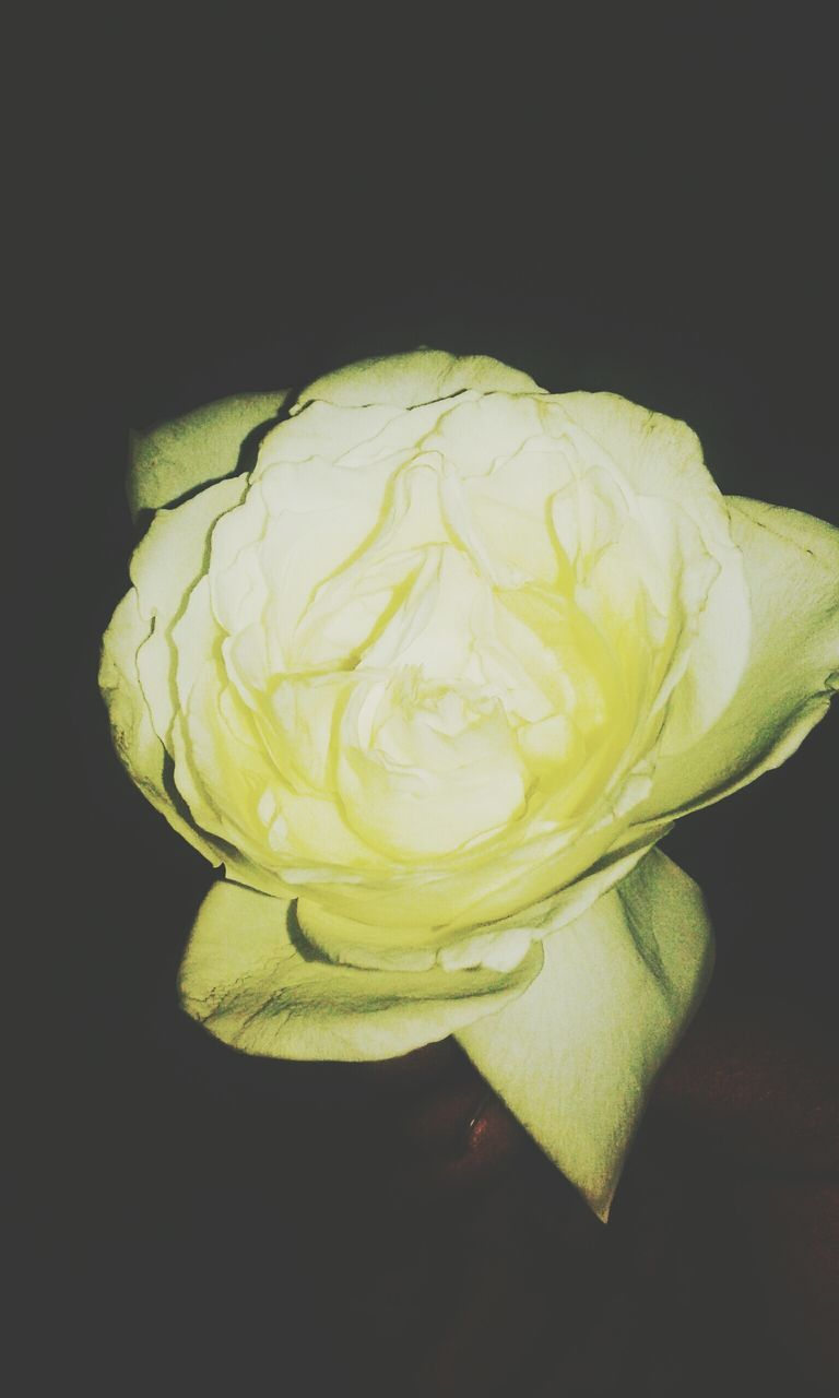 flower, studio shot, freshness, petal, black background, flower head, fragility, beauty in nature, close-up, rose - flower, nature, no people, yellow, growth, indoors, day