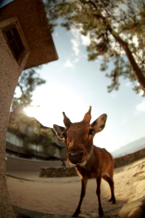 Traveling Japan Miyajima Deer Animals