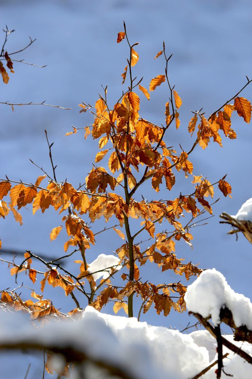 autumn, nature, beauty in nature, leaf, low angle view, day, no people, branch, change, outdoors, sky, tree, scenics, tranquility, cold temperature, winter, close-up, maple