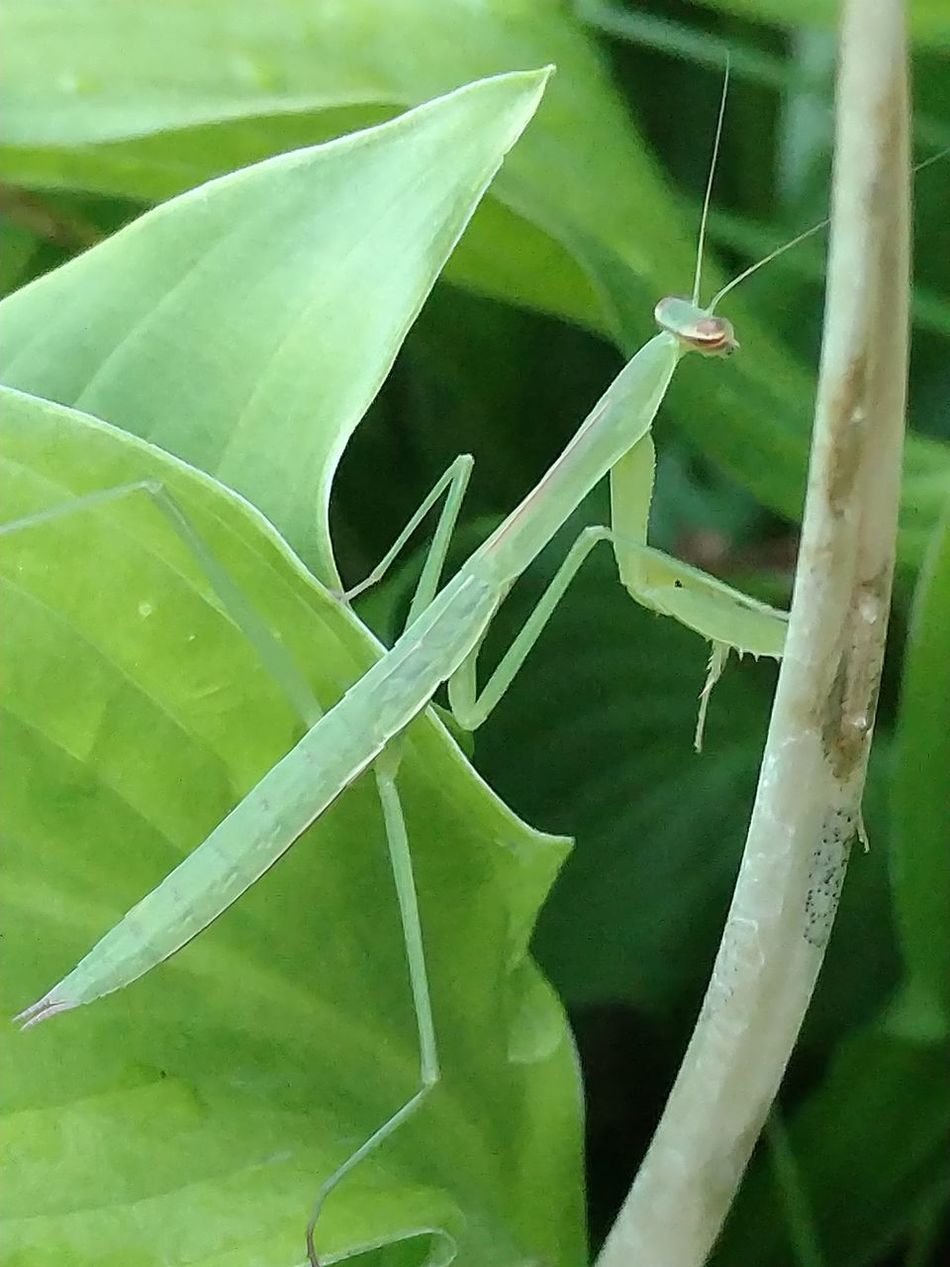 Preying Mantis Preying Mantis Collection Praying Mantis Insects  Insect Photography Insects In Nature