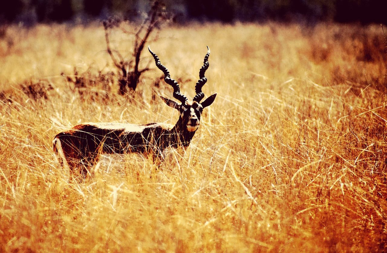 one animal, animals in the wild, animal themes, grass, nature, field, no people, animal wildlife, outdoors, day, mammal, stag, close-up, beauty in nature