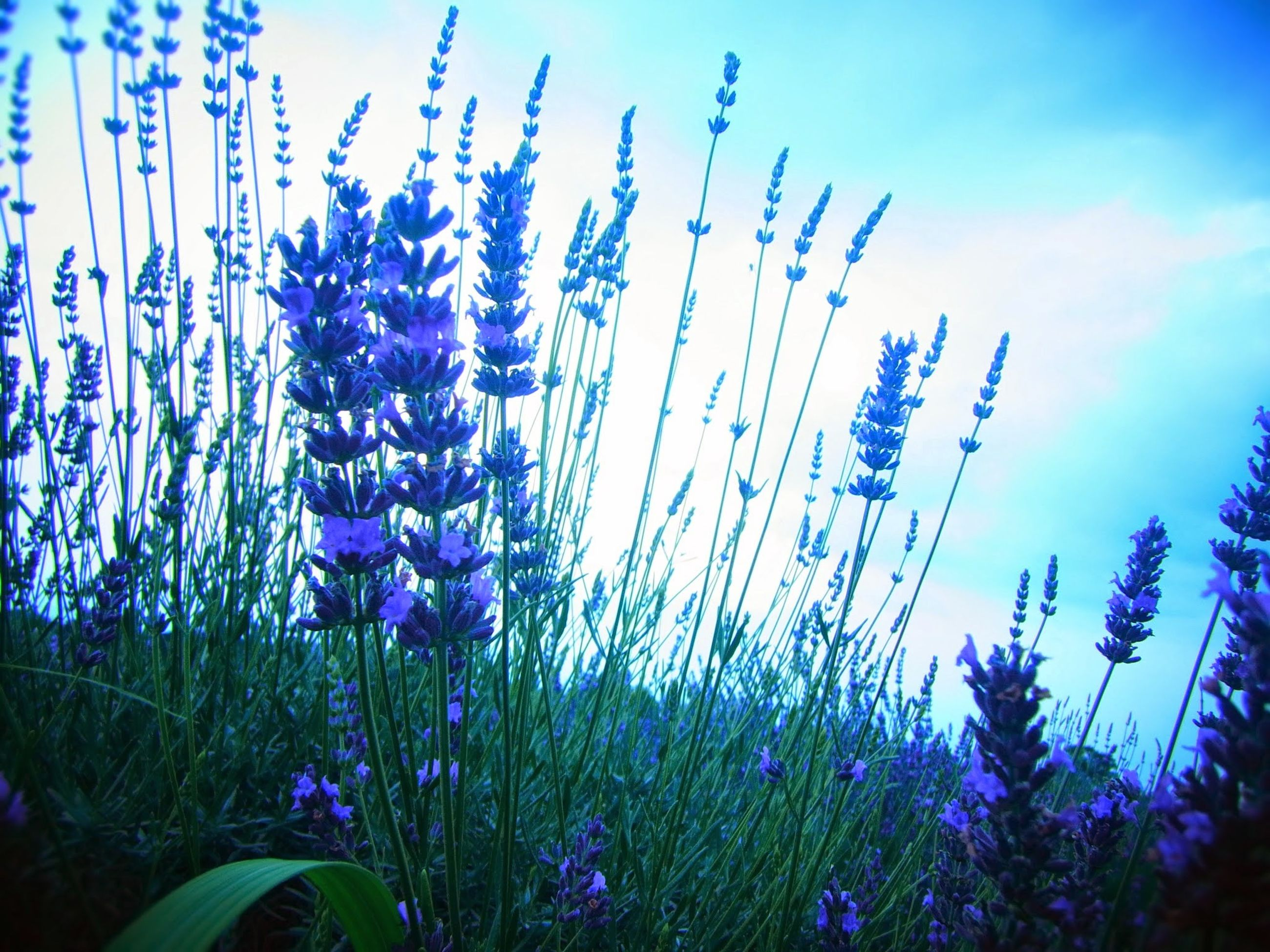 flower, growth, plant, freshness, purple, fragility, beauty in nature, field, nature, blue, blooming, sky, in bloom, petal, stem, flower head, outdoors, clear sky, no people, tranquility