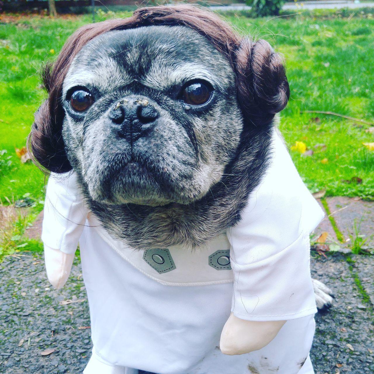 Startrek Pug Rescuedog