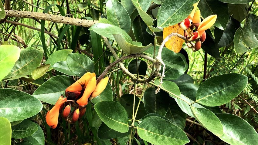 Plantas Isla Santay Nature Plant Green Color Tree No People Flower Head Isla Santay Guayaquil - Ecuador