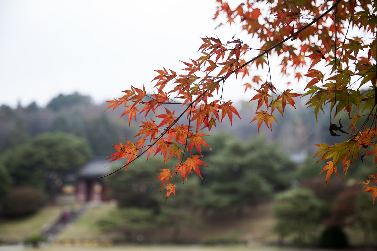Nongae Temple, Jangsugun, Jeonbuk, South Korea Autumn Autumn Autumn Colors Beauty In Nature Change Close-up Day Fall Fall Beauty Korea Traditional Architecture Leaf Maple Maple Leaf Maple Leafs Maple Leaves Nature No People Outdoors Sky Tranquility Tree