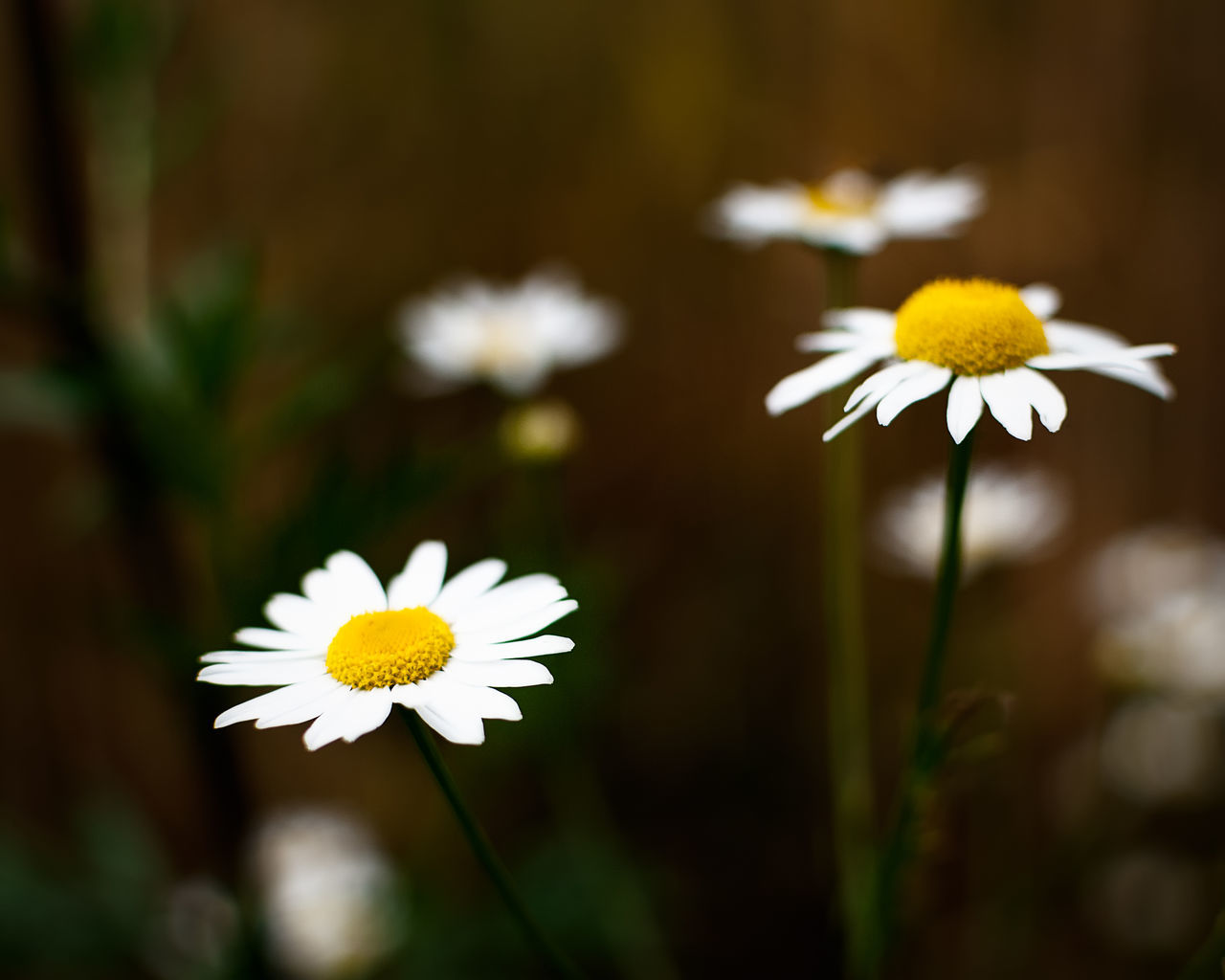 Matricaria chamomilla Beauty In Nature Blooming Chamomile Close-up Daisy Day Flower Flower Head Fragility Freshness Growth Nature No People Outdoors Petal Plant Pollen White Color Nikonphotography