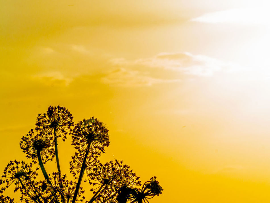 Copy Space Sunset Silhouettes Sunset_collection Thapsia Thapsia Villosa Beauty In Nature Close-up Cloud - Sky Day Deadly Carrots Environment Growth Low Angle View Nature No People Outdoors Palm Tree Scenics Sky Space For Copy Space For Text Sunset Tree Yellow Yellow Color Paint The Town Yellow