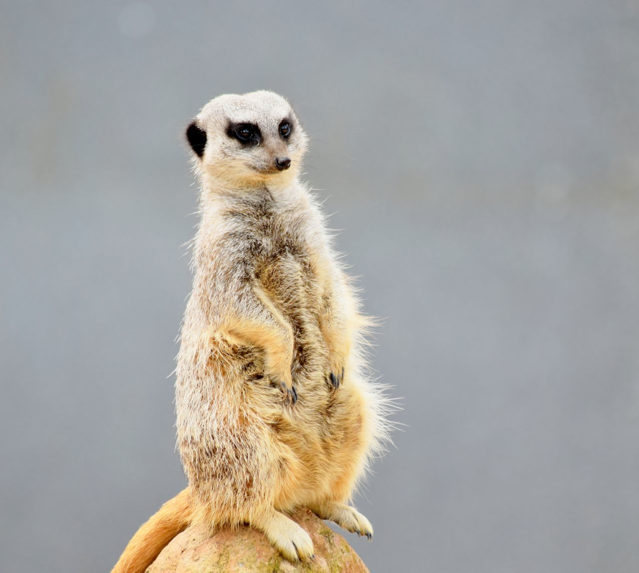 Animal Wildlife Animals In The Wild Day Mammal Meerkat Nature No People One Animal Outdoors