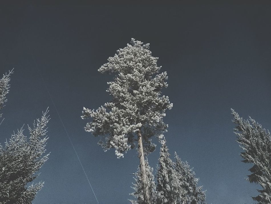 Conifers Snow On Trees Snow On Branches Sky Winter Scenery Dominant