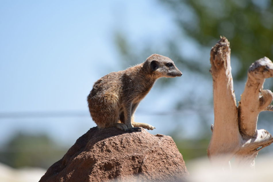 meerkat suricate Animal Themes Animal Wildlife Animals In The Wild Beauty In Nature Close-up Day Focus On Foreground Mammal Meerkat Nature No People One Animal Outdoors Rock - Object Suricate Water