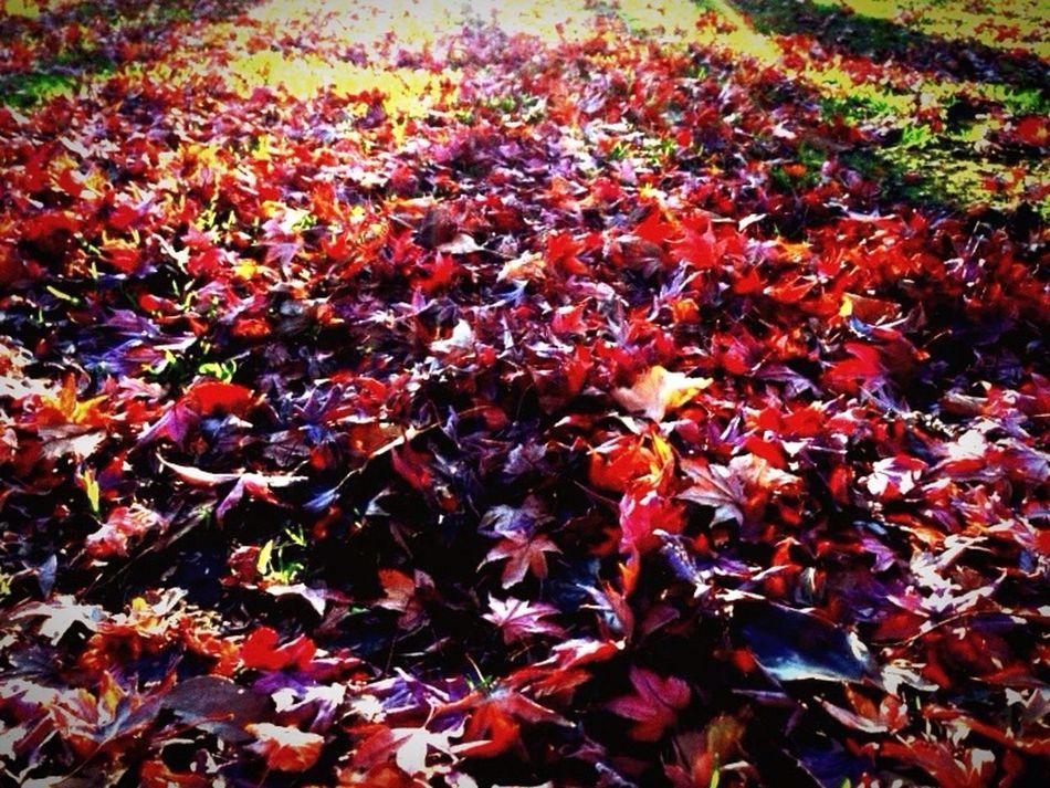 お散歩 イロハモミジ 小石川植物園 Enjoying Life 落ち葉 おでかけ 休日