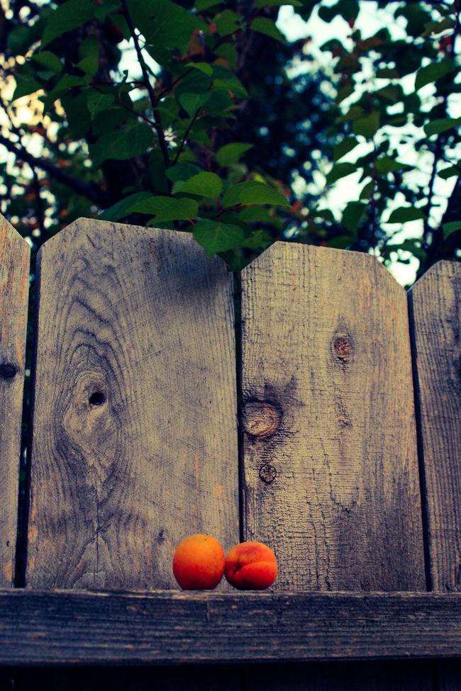 Apricot Tree ApricotBlossom Apricots Dandelion Fences Flowerporn Flowers,Plants & Garden Foodphotography Fruit Tree Fruitporn Fruityloops Orange Color Pinecone Treescollection