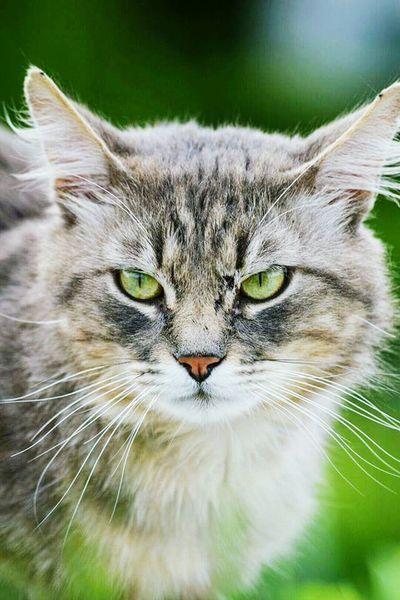 Domestic Animals Cat Greycat Beatiful Cats Of EyeEm Animal Photography Eyescat Miaou Miaow