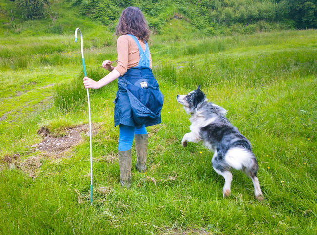A Girl Throwing Sticks for a Dog Pets Animal Themes One Animal Domestic Animals One Person Grass Mammal Outdoors Day People Adult Young Women Teenager Young Adult Sheepdog Wales Farm Green Hook Border Collie Blue Merle Dogs Play