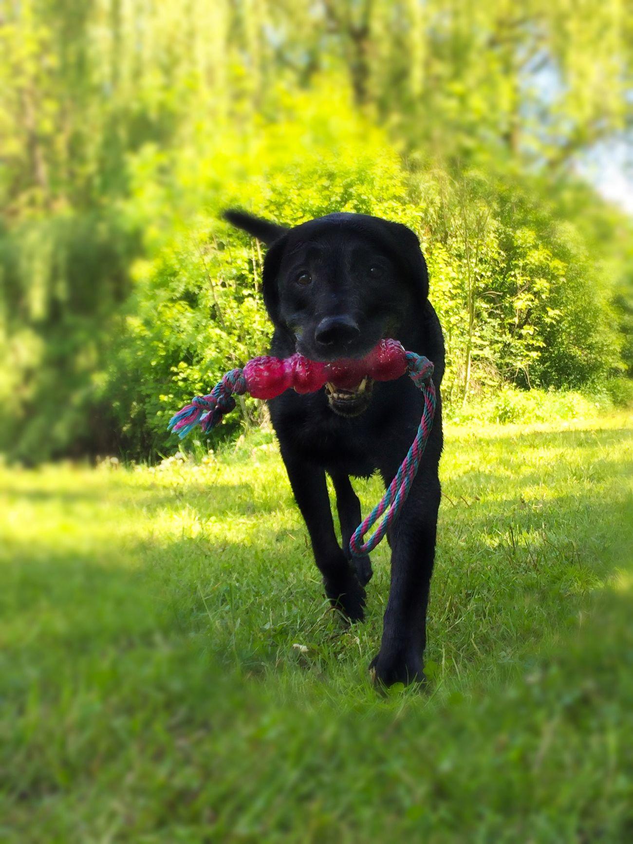 Dog Animal Themes Black Color One Animal Pets Green Color Outdoors Nature No People Black Labrador Lovethisdog Sunset
