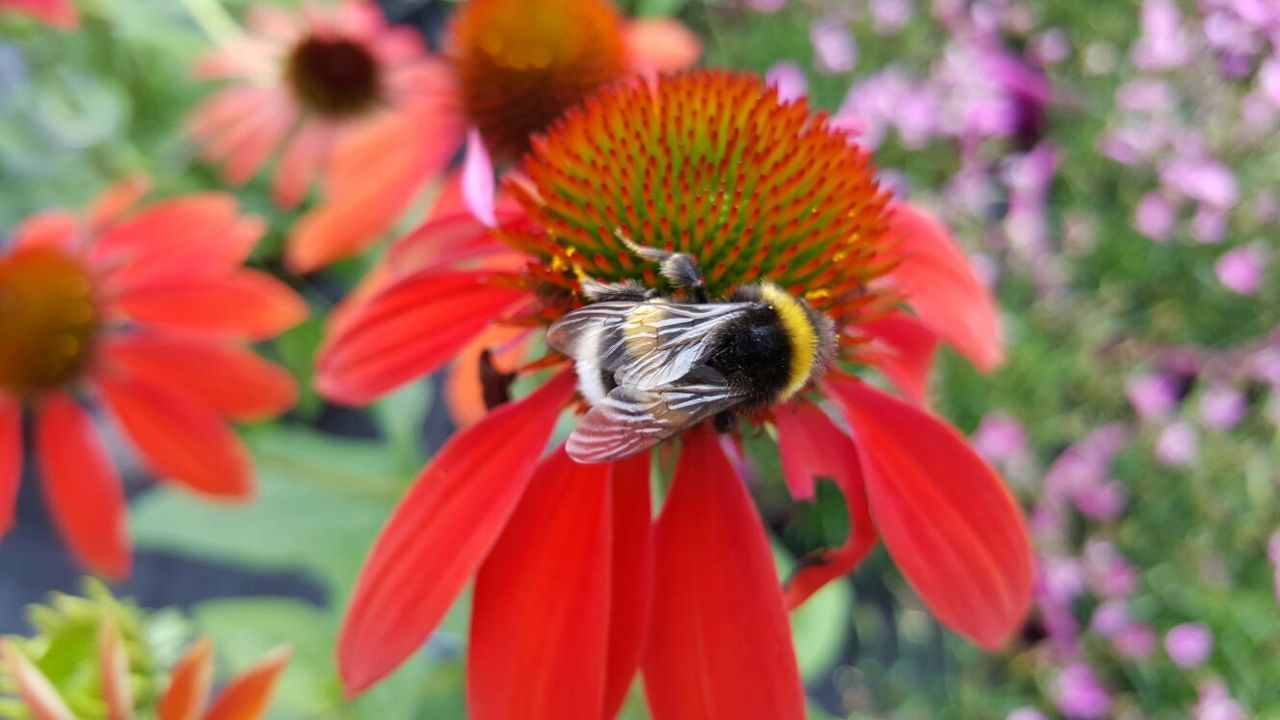 Outdoors Flowers Flower Bee Field Red Nature Bees Beauty In Nature Plant