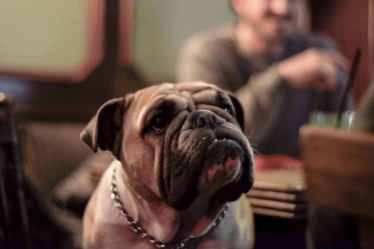 Relaxed Dog in a Bar - Bulldog questioning doubtful