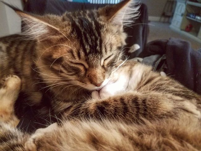 Domestic Cat Domestic Animals Pets Animal Themes One Animal Cat Indoors  Feline Mammal Close-up Resting Whisker Relaxation Selective Focus Zoology Animal Head  Focus On Foreground Animal Animal Hair At Home Cats Kitten Sleep Cuddle