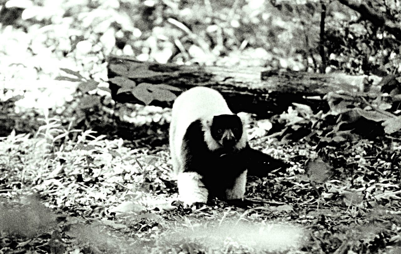 #dukelemurcenter Blackandwhiteruffed Highlyendangered Mybabies❤️ Hidden Gems  Animals