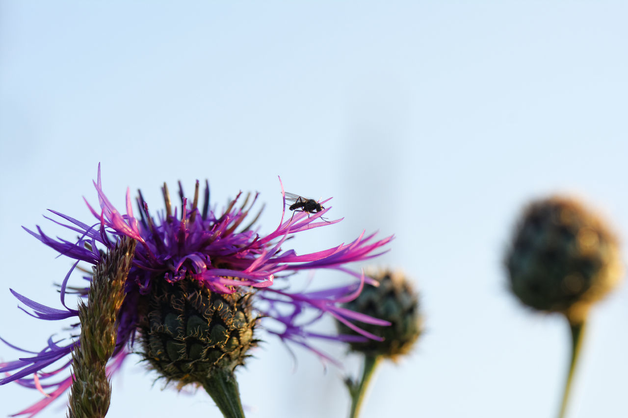 Animal Themes Beauty In Nature Close-up Day Flower Flower Head Fly Fragility Freshness Growth Insect Nature No People Outdoors Pink Color Plant Pollination Thistle
