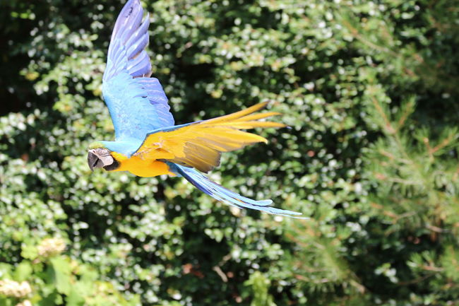 Birds the Word Macaw Parrot Flight Swooping EyeEm Nature Lover