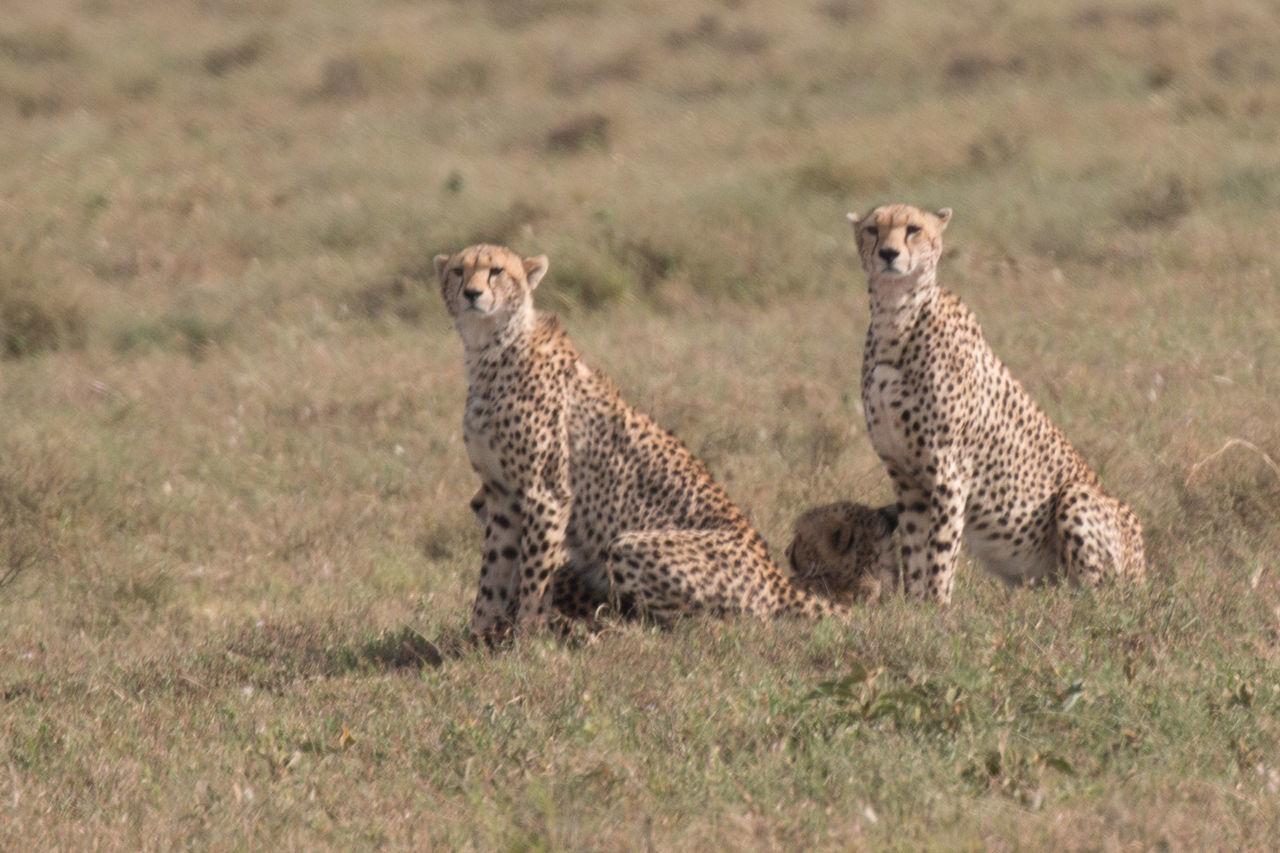 Africa African Beauty Animal Themes Animal Wildlife Animals In The Wild Cheetah Day Field Grass Mammal Nature Ngorongoro Crater No People Outdoors Safari Serengeti Serengeti National Park Sunlight Tanzania Togetherness