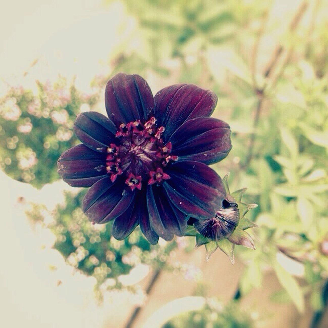 チョコレートコスモス Flowerporn