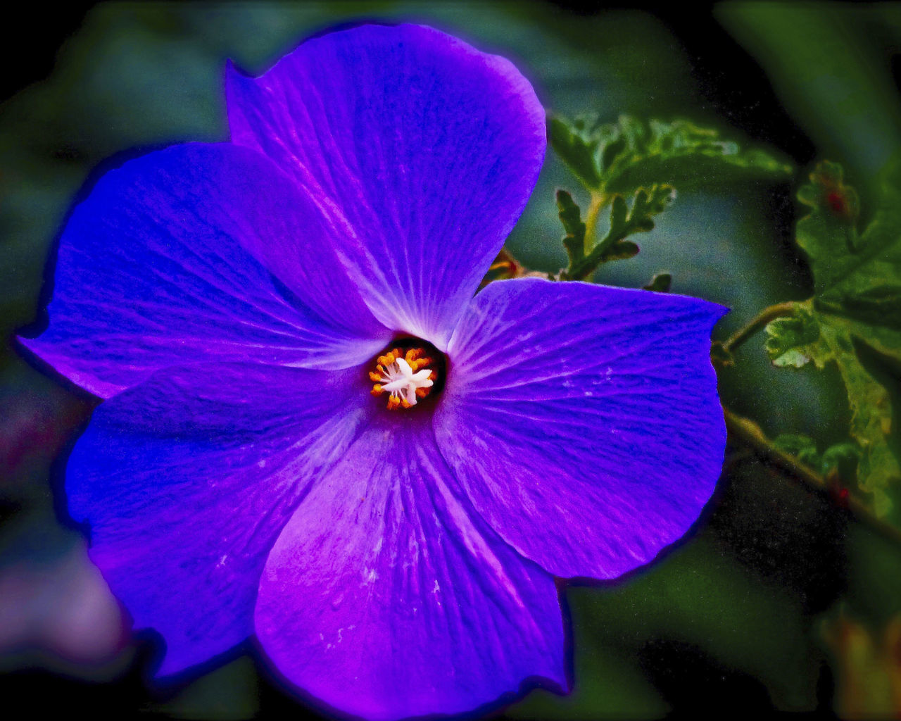 Blooming Blue Hibiscus Close-up Flower Hdr_Collection No People Petal Purple Rich Colors Water