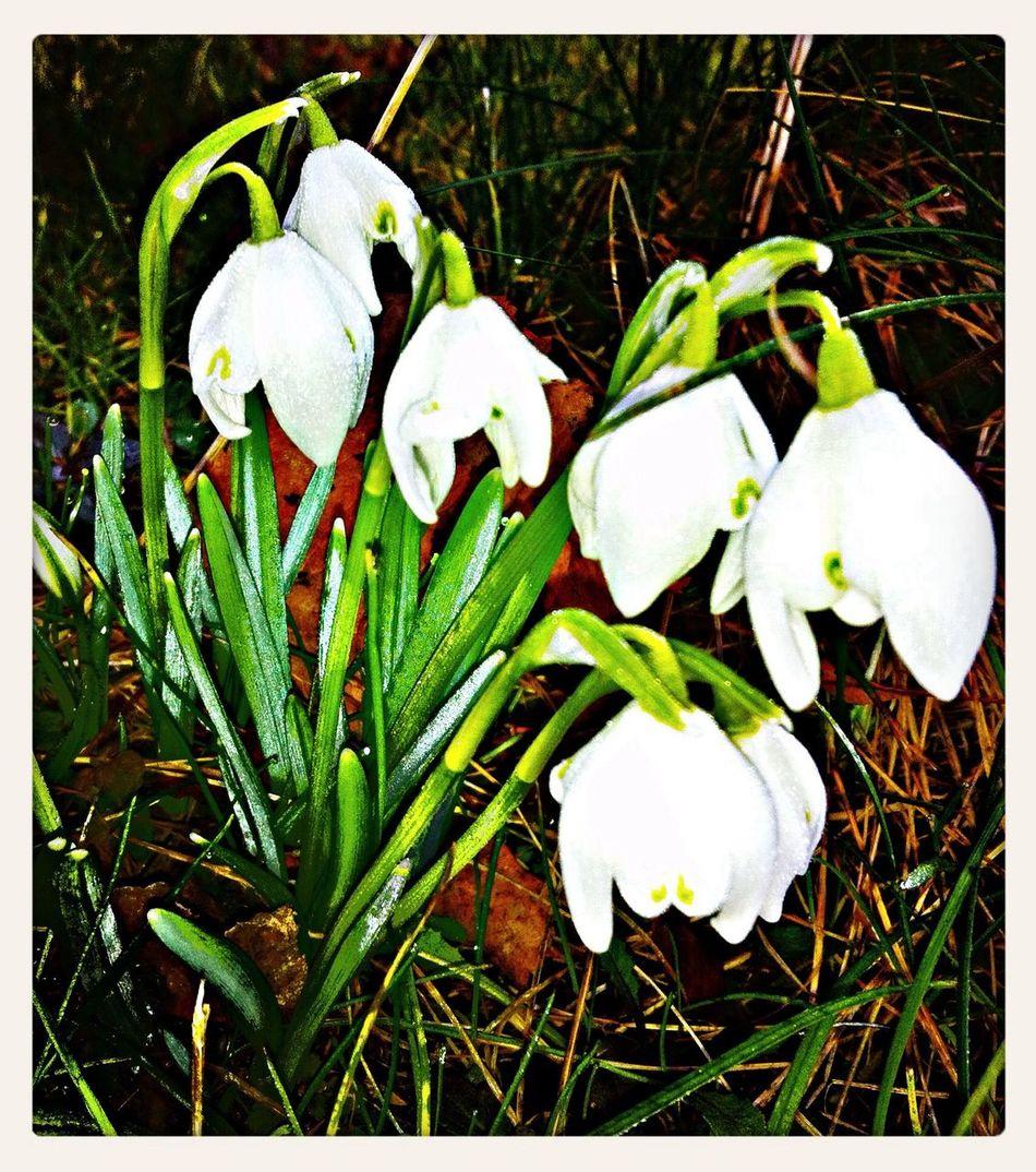 Frühlingsgrüße! ? Nature Parkweg Snowflower, Schneeglöckchen