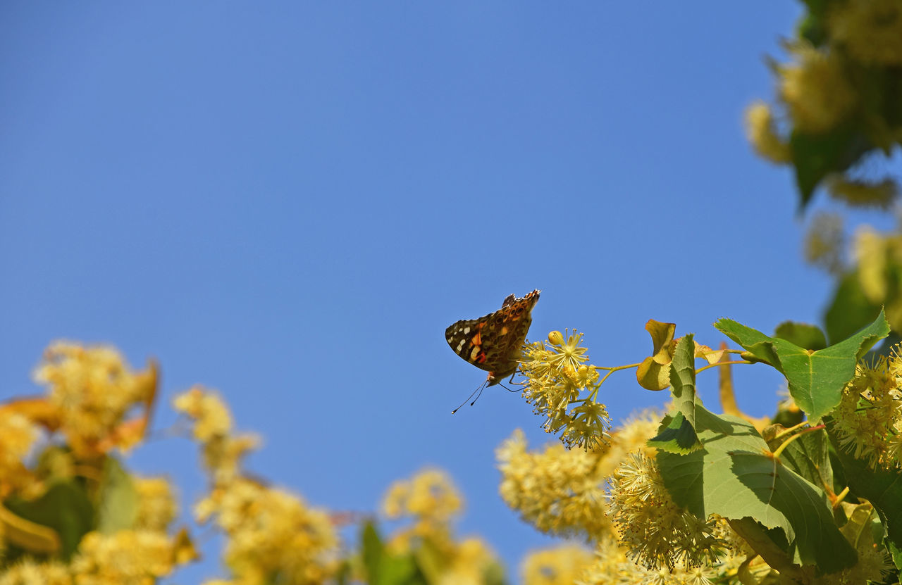 Colorful butterfly pollinating on yellow linden tree blossoms over blue sky Bloom Blooming Blossom Blue Sky Butterfly Flowers Honey Insect Insects  Lime Lime Tree Linden Linden Tree Moth Nature Pollination Season  Summer Summertime Wildlife Yellow A Bird's Eye View